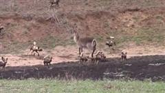 """Linh dương """"chơi ngông"""" tấn công lại 25 con chó hoang và cái kết thảm hại"""
