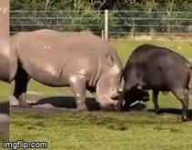 Coi thường đối thủ, tê giác khổng lồ trúng cú húc tử thần của trâu đực hung hăng