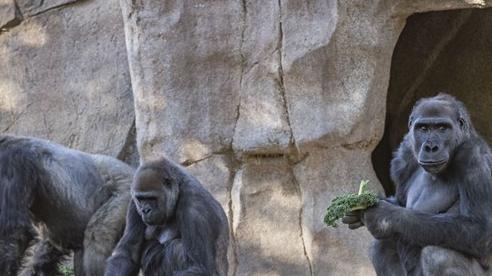 Mỹ: Khỉ đột dương tính với SARS-CoV-2