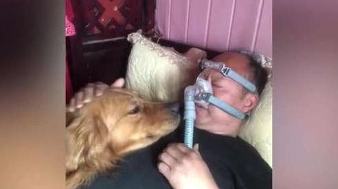 Câu chuyện cảm động về chú chó không dám rời chủ nhân khi ngủ