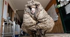 'Giải cứu' chú cừu đi lạc với bộ lông khổng lồ