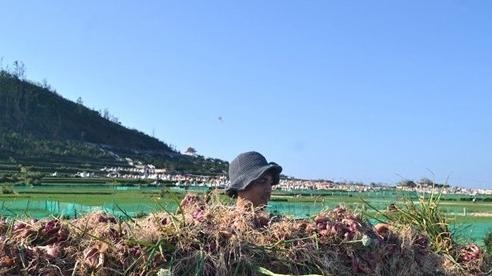 Trồng hành tím trái vụ trên đảo Lý Sơn