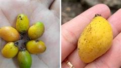 Cô gái khoe loại xoài tí hon chỉ dài hơn 1cm ở Việt Nam khiến dân tình sửng sốt: Hoa quả cũng 'già trước tuổi' à?