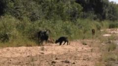 Trâu mẹ đánh đuổi cả báo hoa mai lẫn sư tử đực khi kẻ thù có ý định hãm hại nghé