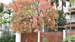 Hà Nội rực sắc vàng, đỏ mùa cây thay lá