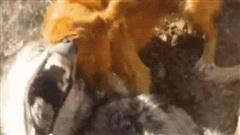3 đánh 1: Chó sói hứng chịu 'màn tra tấn' không khoan nhượng từ 3 chó săn - Kết cục không ai dám nhìn