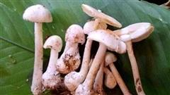 Ăn loài nấm kịch độc có màu sắc ưa nhìn, 4 người trong gia đình gặp nạn