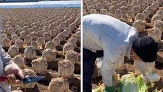 Bất ngờ trước cách người Nhật trồng cả ruộng cải thảo khổng lồ, thoạt nhìn tưởng bị hư nhưng xem bên trong mới bất ngờ
