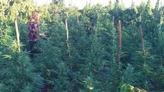 Trồng hàng trăm cây cần sa, chủ vườn khai để cho... gà ăn?!