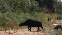 Trâu non bị cả báo và sư tử đeo đuổi: Kết mở