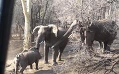Tê giác mẹ cứng đầu chặn đường voi xuống uống nước, kết cục sẽ ra sao?