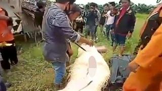 Mổ bụng cá sấu khổng lồ phát hiện điều thảm thương