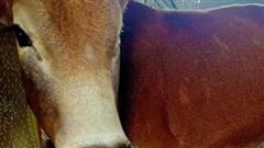 Hơn 100 trâu, bò mắc bệnh 'lạ' ở Quảng Bình, 2 con đã chết