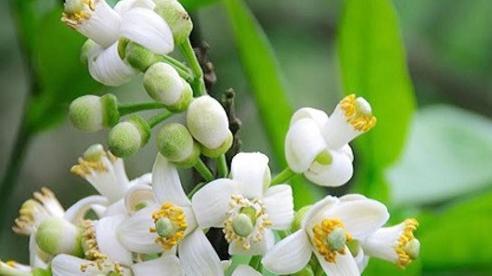 Hương bưởi tháng 3 tạo nên nét riêng của Hà Nội