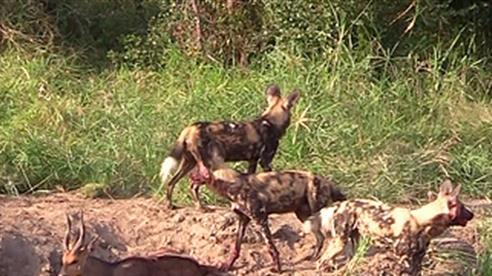 Chó hoang hợp sức giết con mồi lớn
