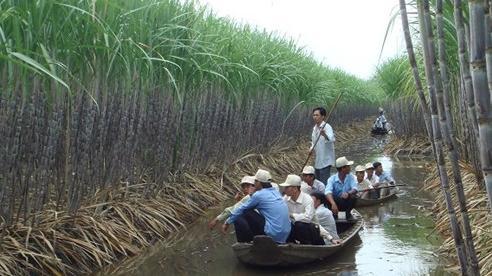 'Ngồi cùng thuyền', người trồng mía vẫn chưa là đối tác đúng nghĩa của nhà máy đường