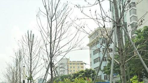 Cận cảnh hàng phong đỏ 'chết khô' giữa thủ đô, chờ được thay thế