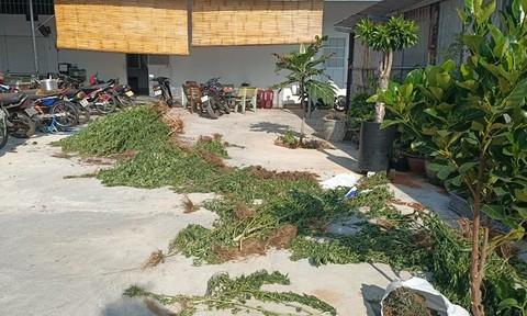 Bình Thuận: Người đàn ông Canada trồng cả vườn cần sa để... trị bệnh