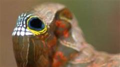 Tròn mắt kinh ngạc xem sâu bướm có mặt hình sọ người ghê sợ