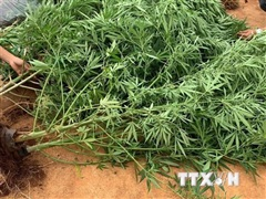 Xử lý các đối tượng trồng, tiêu thụ cây cần sa quy mô lớn tại Đắk Lắk