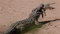 Hãi hùng cá sấu khổng lồ chén thịt đồng loại