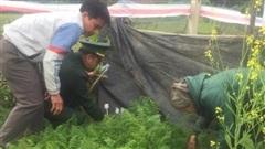 Tái diễn tình trạng trồng các loại cây chứa chất ma túy