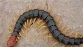 Không phải rắn, loài chân đốt này cũng có thể làm chết người