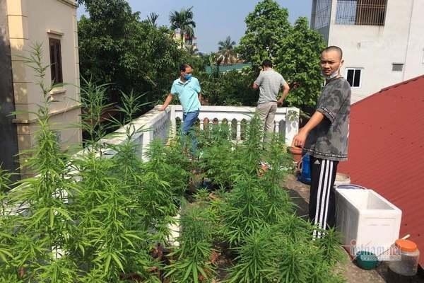 Chuyện thật như đùa: Thanh niên trồng vườn cần sa ngay nội thành Hà Nội