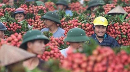 190 thương nhân Trung Quốc được phép vào mua vải thiều Bắc Giang