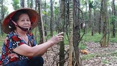 Bình Phước hỗ trợ người dân khó khăn có tiêu trồng bị chết
