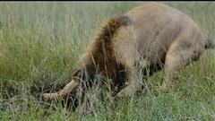 Kiên trì đào hang, sư tử tóm được con mồi lớn