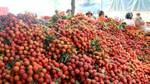 Tỉnh Quảng Ninh đăng ký tiêu thụ 60 tấn vải Bắc Giang
