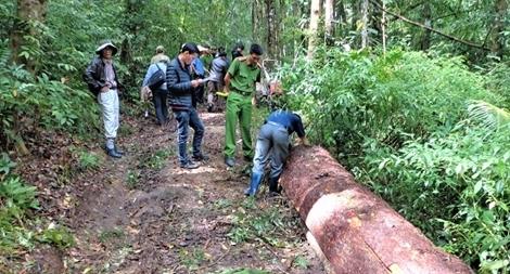 Khai thác 3 cây thông, bị phạt 270 triệu