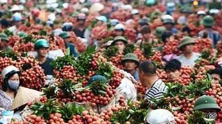 Bắc Giang tiêu thụ hơn 80 nghìn tấn vải thiều
