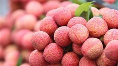 Vải thiều Việt Nam được nhập khẩu chính ngạch vào Pháp