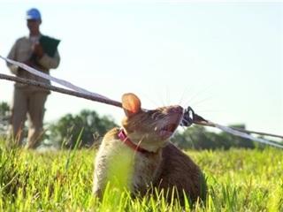 Campuchia huấn luyện thế hệ chuột mới để rà phá bom mìn