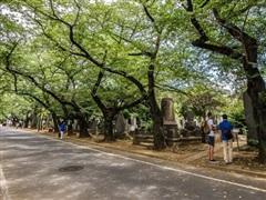 Hình thức mai táng dưới gốc cây đang trở nên phổ biến ở Nhật