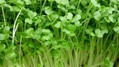 Tác dụng tuyệt vời của mầm cỏ linh lăng