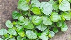 Loại rau một thời được trồng để 'cứu đói' giờ bay chuyên cơ ra Hà Nội thành đặc sản dành cho nhà có điều kiện