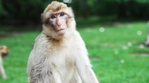 Trung Quốc ghi nhận ca tử vong đầu tiên do nhiễm virus B từ khỉ