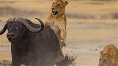 Tưởng thành công, bầy sư tử bị trâu rừng cho 'trái đắng'