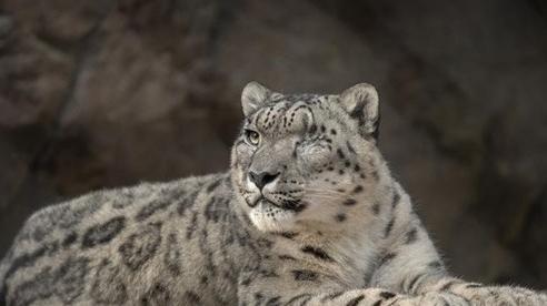 Báo tuyết tại vườn thú Mỹ mắc Covid-19