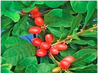 'Miracle Berry' - loại quả kỳ lạ biến vị chua thành vị ngọt