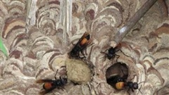 Khoảnh khắc xót xa bé 2 tuổi bị ong đốt tử vong