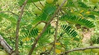 Quả hoang mọc đầy rừng giờ được 'lùng mua' nửa triệu đồng/kg vừa là quà vặt của chị em vừa chữa cao huyết áp, giảm tiểu đường