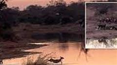 Linh dương bị 16 chó hoang cùng hà mã truy sát