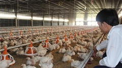 Sốc: Giá gà chỉ còn 5.000 đồng/kg, người nuôi gà quặn thắt, nuốt nước mắt tiêu hủy