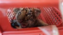 Vận chuyển trái phép 7 hổ con: Để thay thế...