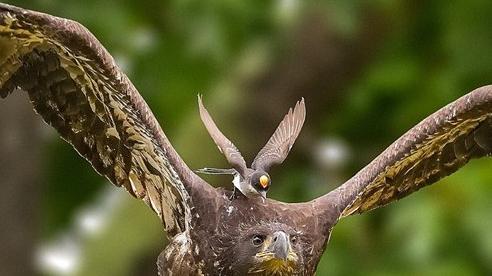 Khoảnh khắc cực ấn tượng con chim nhỏ ngang nhiên cưỡi trên đầu đại bàng