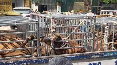 Phát hiện 17 con hổ nuôi nhốt trái phép tại nhà dân
